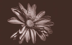 withering - 142/366 (auntneecey) Tags: pink flower monochrome daisy lowkey matte day142366 366the2016edition 3662016 21may16