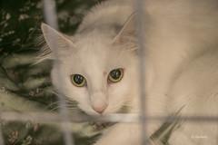 160522_6V9A4262 (Sveriges Nya Raskattfrening, SNRF) Tags: katter turk katterraser
