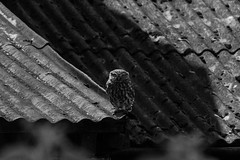 Up on the roof (ToriAndrewsPhotography) Tags: roof barn andrews little owl tori phtoography