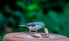 Tufted Titmouse with Peanut (Gabriel FW Koch) Tags: wild food orange nature canon eos dof bokeh wildlife gray beak feathers nuts telephoto peanut songbird tuftedtitmouse