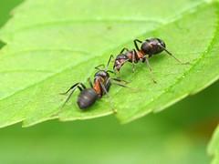 Let's talk about... (Paramedix) Tags: macro animal germany insect deutschland ant olympus flies makro insekt tier fliegen ameise badenwrttemberg mft em5