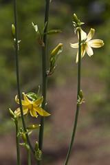 Echeandia texensis (Layla Dishman) Tags: liliaceae asparagaceae