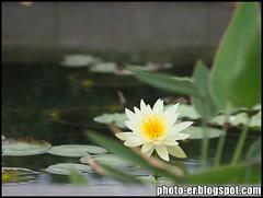Water Lily - Nikkor AIS Series E 75-150mm f3.5 (photo.er) Tags: nikkor nikkorlens epl3 olympusepl3 nikkoraisseriese75150mmf35