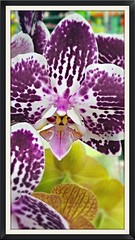 Spotted Orchid (dianecorfield) Tags: orchid ilovenature macroflowers flowersofeverkind