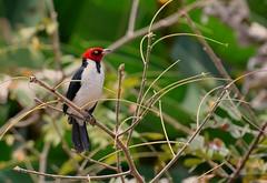 Red-capped Cardinal - Equadorian Amazon Basin. (One more shot Rog) Tags: birds wings amazon redcap napo beaks natuire amazonbasin yasuni redcappedcardinal yasuninationalpark napowildlifecentre equadorianamazon