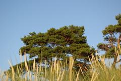 IMGP2422 (horschte68) Tags: pentax k10d balticsea tree landscape summer