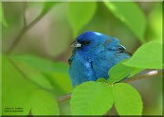 Indigo Bunting (Explored) (Windows to Nature) Tags: indigobunting bemiswoods spring2016