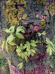 EL VESTIDO DEL ARBOL (aliciap.clausell) Tags: espaa naturaleza tree musgo nature hojas arbol spain abril colores tronco corcho texturas vegetacion comunidaddemadrid