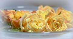 (Fay2603) Tags: light roses orange nature wet water yellow licht drops wasser soft fuji natur decoration indoor gelb apricot rosen delicate deco wassertropfen frisch nass dekoration zart weich xt1