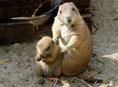 What was the question? (BrigitteE1) Tags: animal germany de mammal zoo flickr prairiedog hanover tier cynomysludovicianus hrnchen prriehund erdhrnchen sugetier nagetiere blacktailedprairiedog specanimal whatwasthequestion schwarzschwanzprriehund prriehunde erlebniszoohannover tagaktiv echteerdhrnchen