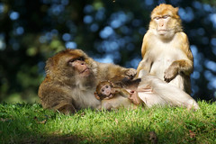 monkey family, pt.2 -  Barbary Macaques - Berberaffen (okrakaro) Tags: portrait baby nature animals germany zoo bokeh familie natur september affen pt2 rheine barbarymacaques monkeyfamily berberaffen 2013 affenbaby