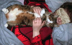 Poor Percy :( (skipscales) Tags: tabby tabbywhite cat percy relaxing indoors cuddles belly tummy