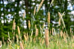 Wiesenbokeh (henrik_thiele) Tags: green dof bokeh gras grn blte unschrfe