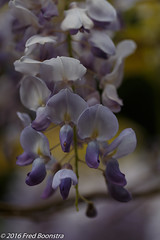 IMG_7657-1 (A.J. Boonstra) Tags: macro canon usm f28 wisteria efs60mm 70d