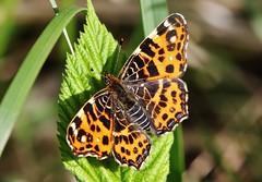 Falter (Hugo von Schreck) Tags: macro butterfly insect falter makro insekt schmetterling landkrtchen araschnialevana tamron28300mmf3563divcpzda010 canoneos5dsr hugovonschreck