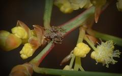 Oxyopes (dustaway) Tags: arthropoda arachnida araneae araneomorphae australianspiders nature northernrivers nsw australia northcoast oxyopidae oxyopes lynxspider spinne