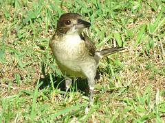 Cracticus torquatus 9 (barryaceae) Tags: park black bird birds flora head australia aves nsw australianbirds ausbird ausbirds