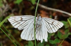 Falter (Hugo von Schreck) Tags: insect outdoor falter insekt schmetterling sionalineata hartheuspanner yourbestoftoday tamron28300mmf3563divcpzda010 canoneos5dsr hugovonschreck