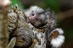 Baby Common Marmosets (jim_2wilson) Tags: baby monkeys marmoset newworldmonkey longleatsafaripark jimwilson sonya77 sony70400mmssmii