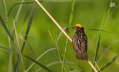Streaked weaver (S.M. Ali Javed) Tags: pakistan wild nature canon flickr paradise vibrant wildlife waterbird ali weaver streaked wwf shah javed natgeo wildbirds wildlifereserve birdsofpakistan ploceusmanyar