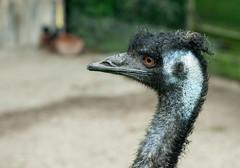 Emu (Janne Fairy) Tags: animal animals canon zoo tiere depthoffield emu tier schrfentiefe rheine canon500d dromaius eos500 dromaiidae laufvogel eos500d