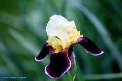Three Things I saw this evening: an Iris (Walt Snyder) Tags: iris flower green purple bokeh handheld canonef100400mmf4556l canoneos5dmkiii