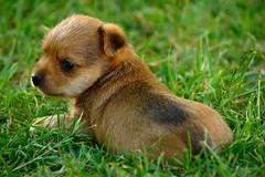 Cachorro sobre hierba (Alberto Vias) Tags: dog naturaleza nature animal puppy can perro cachorro doggy perrito domstico