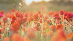 Poppies party (pat.thom974) Tags: light red flower spring poppy