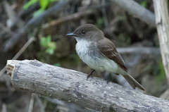Eastern Phoebe (ramseybuckeye) Tags: life county ohio nature woodlands allen pentax phoebe eastern hermon