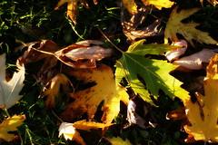 Transitions ( 1 ) : Autumn (Snorkle-suz) Tags: leaves plants garden blue yellow brown light lateautumn vegetation foliage outside stems leaf canoneos400d manawatu aotearoa newzealand nz green grass ground earthy autumnal nature 50mm canoneosdigitalrebelxti canoneoskissx
