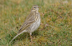 JWL3932  Meadow Pipit.... (jefflack Wildlife&Nature) Tags: nature birds countryside wildlife meadows fields avian heathland songbirds pipit wildbirds meadowpipit pipits mipits