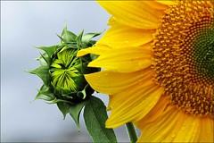 spirationsSunflower (Takako off) Tags: ngc npc coth5
