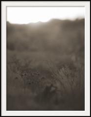wasteland weeds (Andrew C Wallace) Tags: sepia lensbaby sunrise ir weeds dof australia victoria flare infrared grasslands wasteland tiltshift campbellfield nikon50mmf14 tilttransformer olympusomdem5