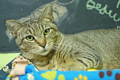Joey_01 (AbbyB.) Tags: rescue pet cat newjersey feline shelter adopt adoptable shelterpet petphotography easthanovernj mtpleasantanimalshelter