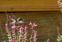 7b-black-chinnedhummingbird-6706 (h.redpoll) Tags: bigbendtrip blackchinnedhummingbird davismountainsstatepark feeders texas westtexas