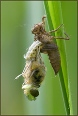 Metamorphosis (image 2 of 4) (Full Moon Images) Tags: macro nature insect four dragonfly wildlife bcn reserve national trust spotted fen cambridgeshire metamorphosis larva chaser woodwalton fourspotted nnr exuvia teneral greatfen