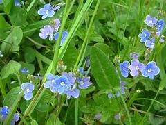 Veronica, zierlich kleine Wildblumen (1snomi1) Tags: natur pflanze blumen veronica blau draussen