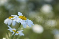 S, no, s, no, s, no... (mArregui) Tags: naturaleza flores nikon flor pantano sanjuan margarita pantanodesanjuan wwwarreguimeluscom marregui