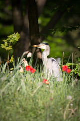 Garden Hero(n) (memories-in-motion) Tags: eye heron sports nature canon garden eos natur feather free sigma blumen hero tele garten auge vogel freiheit feder floer reiher 600mm 5dmarkiii 150600mmf563dgoshsm|sports