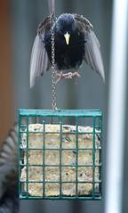 Shots from the crutches (Merk Gerves) Tags: bird squirrel shepherd smoke finch german feeders starlings d810