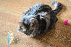 Jack, Toys, and Catnip (Vegan Butterfly) Tags: playing animal cat fur toys furry play maine coon catnip