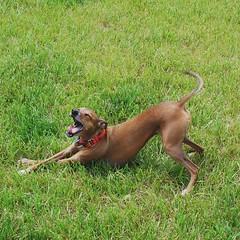 Silliest stretch/yawn/leg cross (Hematocrit) Tags: leia italiangreyhound instagram ifttt