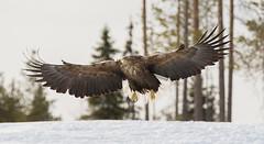 White-tailed Eagle 0962 by Olli Lamminsalo (www.finnature.com) Tags: talvi kevt merikotka huhtikuu2012 penninkiluoma