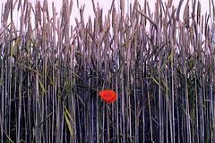 Papaveraceae (matthiasstiefel) Tags: loneliness frstenfeldbruck poppy mohn mohnblume weizen allein weizenfeld allone alling supertakumar50mmf14 alleinsein