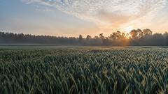 Sonnenaufgang über dem Kornfeld (webpinsel) Tags: felder frühling halternamsee landschaft morgendämmerung morgensonne natur nebel sonnenaufgang sythen morgens