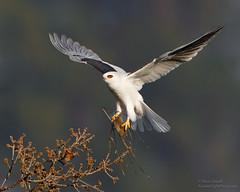 White-tailed Kite with prey (Steve Zamek) Tags: kite flight prey vole whitetailed