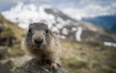 Marmot (Bastian.K) Tags: wild mountain macro up berg animal zeiss mammal austria close sony full berge carl frame marmot 28 distagon 21mm murmeltier murmel loxia wildtier grosglockner a7s emount ilce7s loxia2821 loxia2128
