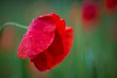 sad beauty (w-venne) Tags: red plant green rot beauty field rain drops sad blossom pflanze poppy grn blte regen tropfen acker schnheit ort mohn klatschmohn mohnblume regentropfen traurig papaverrhoeas schn verl