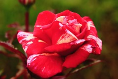 Red with  white (Rajavelu1) Tags: red plant green art rose creative rosegarden ooty artland macrophotograph canon6d