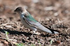 La Femme Violet (martytdx) Tags: sanfrancisco ca birds female lifelist birding may breeding swallow lafayettepark nesting violetgreenswallow tachycinetathalassina hirundinidae tachycineta